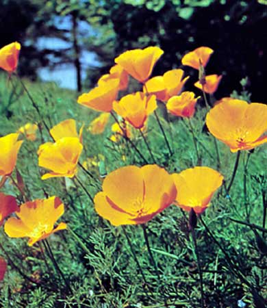 image from http://www.herbal-remedies-information.com/image-files/california-poppy.jpg